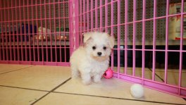 Teacup malti poo puppies for sale maltese toy poodle designer breed