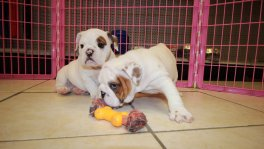 English Bulldog Puppies For Sale near Marietta, Ga