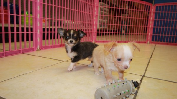 Lovely Blue Tri Color Chihuahua Puppies For Sale Near Atlanta Georgia At Puppies For Sale