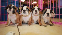 English Bulldog Puppies For Sale near Alpharetta, Ga