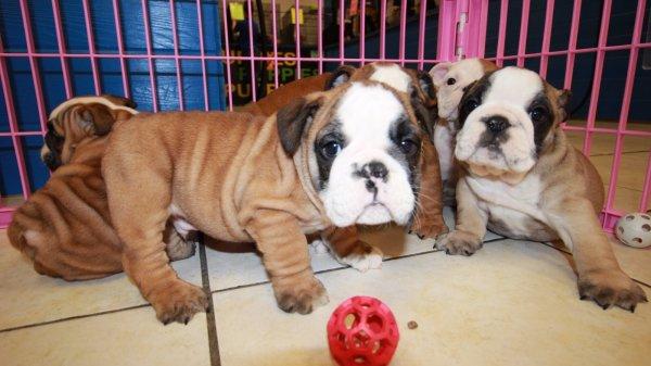 Special, English Bulldog Puppies For Sale near me, Atlanta ...