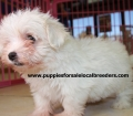 Teacup Maltese Puppies For Sale near Johns Creek, Ga