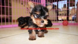 Teacup Toy Yorkie Puppies For Sale near Milton, Ga