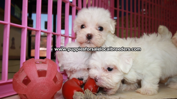 Teacup Maltese Puppies For Sale near Roswell, Ga