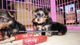 Teacup Toy Yorkie Puppies For Sale near Peachtree Corners, Ga