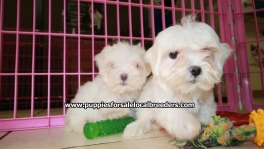 Teacup Maltese Puppies For Sale near Sandy Springs, Ga
