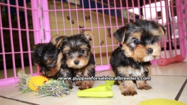Teacup Toy Yorkie Puppies For Sale near Dunwoody, Ga