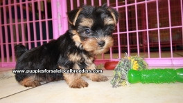 Teacup Toy Yorkie Puppies For Sale near Brookhaven, Ga