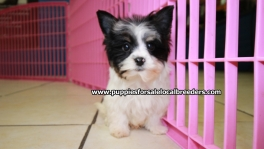Biewer Teacup Toy Yorkie Puppies For Sale near Atlanta, Ga