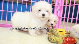 Teacup Maltese Puppies For Sale near Savannah, Ga