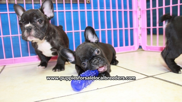 Lovely Brindle French Bulldog Puppies For Sale, Georgia ...