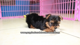 Teacup Toy Yorkie Puppies For Sale near Valdosta, Ga
