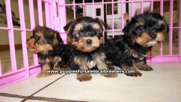 Teacup Toy Yorkie Puppies For Sale near Marietta, Ga