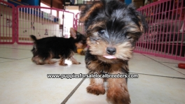 Teacup Toy Yorkie Puppies For Sale near Warner Robins, Ga
