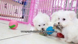 Teacup Maltese Puppies For Sale near Columbus, Ga