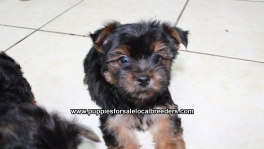 Teacup Toy Yorkie Puppies For Sale near Albany, Ga