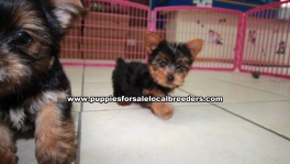 Teacup Toy Yorkie Puppies For Sale near Johns Creek, Ga
