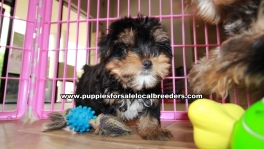 Teacup Toy Yorkie Puppies For Sale near Roswell, Ga