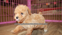 Beautiful Red Toy Poodle puppies for sale near Atlanta, Beautiful Red Toy Poodle puppies for sale in Ga, Beautiful Red Toy Poodle puppies for sale in Georgia