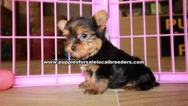 Teacup Toy Yorkie Puppies For Sale near Sandy Springs, Ga