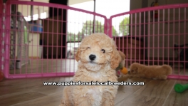 Adorable Bichon Poo puppies for sale near Atlanta, Adorable Bichon Poo puppies for sale in Ga, Adorable Bichon Poo puppies for sale in Georgia