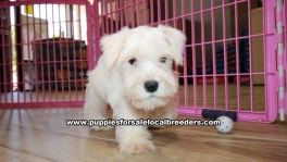 White Miniature Schnauzer puppies for sale near Atlanta, White Miniature Schnauzer puppies for sale in Ga, White Miniature Schnauzer puppies for sale in Georgia