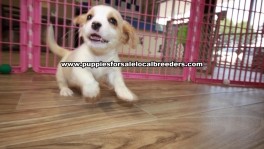 Precious Cavatese puppies for sale near Atlanta, Precious Cavatese puppies for sale in Ga, Precious Cavatese puppies for sale in Georgia