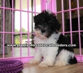 Party Color Miniature Schnauzer puppies for sale near Atlanta, Party Color Miniature Schnauzer puppies for sale in Ga, Party Color Miniature Schnauzer puppies for sale in Georgia