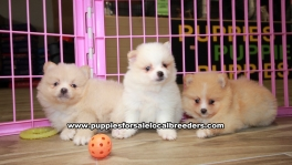 Precious Pomeranian puppies for sale near Atlanta, Precious Pomeranian puppies for sale in Ga, Precious Pomeranian puppies for sale in Georgia