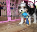 Beautiful Coton Poo puppies for sale near Atlanta, Beautiful Coton Poo puppies for sale in Ga, Beautiful Coton Poo puppies for sale in Georgia