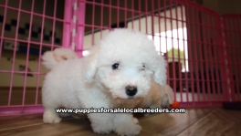 Beautiful Bichon Frise puppies for sale near Atlanta, Beautiful Bichon Frise puppies for sale in Ga, Beautiful Bichon Frise puppies for sale in Georgia