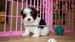 Gorgeous Morkie puppies for sale near Atlanta, Gorgeous Morkie puppies for sale in Ga, Gorgeous Morkie puppies for sale in Georgia