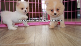 Amazing Pomeranian puppies for sale near Atlanta, Amazing Pomeranian puppies for sale in Ga, Amazing Pomeranian puppies for sale in Georgia