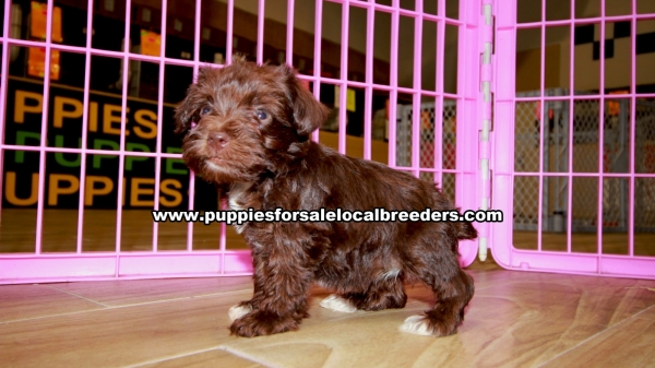 Chocolate Miniature Schnauzer puppies for sale near Atlanta, Chocolate Miniature Schnauzer puppies for sale in Ga, Chocolate Miniature Schnauzer puppies for sale in Georgia