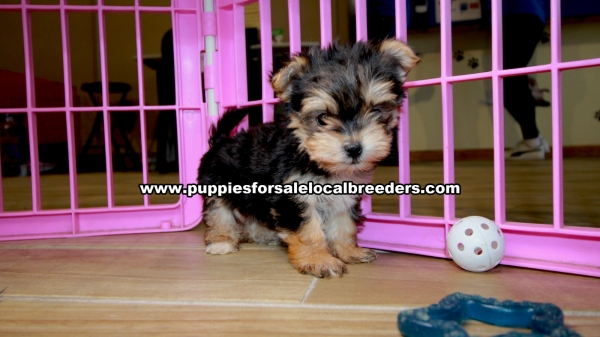 Tiny Morkie puppies for sale near Atlanta, Tiny Morkie puppies for sale in Ga, Tiny Morkie puppies for sale in Georgia