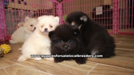 Black and White Pomeranian puppies for sale near Atlanta, Black and White Pomeranian puppies for sale in Ga, Black and White Pomeranian puppies for sale in Georgia