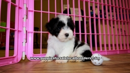 Black and White Morkie puppies for sale near Atlanta, Black and White Morkie puppies for sale in Ga, Black and White Morkie puppies for sale in Georgia