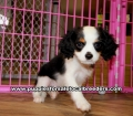 Tri Color Cavalier King Charles Spaniel puppies for sale near Atlanta, Tri Color Cavalier King Charles Spaniel puppies for sale in Ga, Tri Color Cavalier King Charles Spaniel puppies for sale in Georgia