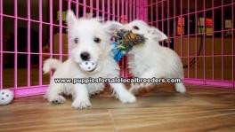 Westie Highland Terrier puppies for sale near Atlanta, Westie Highland Terrier puppies for sale in Ga, Westie Highland Terrier puppies for sale in Georgia