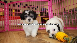 Beautiful Teddy Bear puppies for sale near Atlanta, Beautiful Teddy Bear puppies for sale in Ga, Beautiful Teddy Bear puppies for sale in Georgia