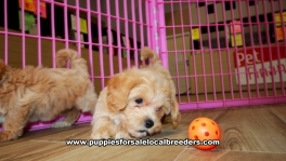 Apricot Malti Poo puppies for sale near Atlanta, Apricot Malti Poo puppies for sale in Ga, Apricot Malti Poo puppies for sale in Georgia