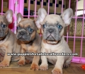 Blue Eyes Lilac French Bulldog puppies for sale near Atlanta, Blue Eyes Lilac French Bulldog puppies for sale in Ga, Blue Eyes Lilac French Bulldog puppies for sale in Georgia