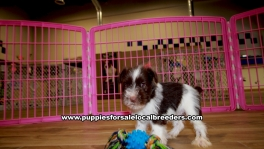 Chocolate Mini Schnauzer puppies for sale near Atlanta, Chocolate Mini Schnauzer puppies for sale in Ga, Chocolate Mini Schnauzer puppies for sale in Georgia