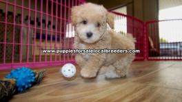 Adorable Toy Poodle puppies for sale near Atlanta, Adorable Toy Poodle puppies for sale in Ga, Adorable Toy Poodle puppies for sale in Georgia