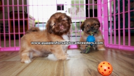 Beautiful Shih Tzu puppies for sale near Atlanta, Beautiful Shih Tzu puppies for sale in Ga, Beautiful Shih Tzu puppies for sale in Georgia