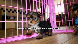 Adorable Morkie puppies for sale near Atlanta, Adorable Morkie puppies for sale in Ga, Adorable Morkie puppies for sale in Georgia