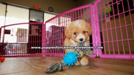 Beautiful Bichon Poo puppies for sale near Atlanta, Beautiful Bichon Poo puppies for sale in Ga, Beautiful Bichon Poo puppies for sale in Georgia