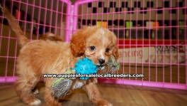 Apricot Cavapoo puppies for sale near Atlanta, Apricot Cavapoo puppies for sale in Ga, Apricot Cavapoo puppies for sale in Georgia