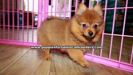 Pretty Pomeranian puppies for sale near Atlanta, Pretty Pomeranian puppies for sale in Ga, Pretty Pomeranian puppies for sale in Georgia