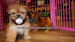 Pretty Shih Tzu puppies for sale near Atlanta, Pretty Shih Tzu puppies for sale in Ga, Pretty Shih Tzu puppies for sale in Georgia